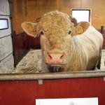 """Avelstjuren har ett fint och krångligt namn, men kallas för """"Gute"""" eftersom han kommer från Gotland."""