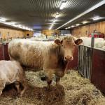 En kalv med en skada i frambenet får vara med sin mamma i en egen box.