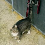 Stallkatten Tiger på inspektionsrunda.
