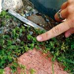 Våtarv, ogräs för vissa, nyttig och välsmakande salladsingrediens för andra