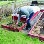 Kålen kan bli festmat för kållarver och kålfjärilar om man inte sätter en fiberduk över kålbädden. Agnetha påtar i jorden utanför sitt orangeri.