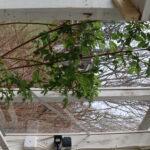 Rosorna som växer utanför orangerifönstren har även hittat in. Grenarna inne har blivit gröna och de kommer att blomstra innan rosorna utomhus.