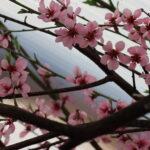 Aprikos och persika blommar i april i orangeriet.